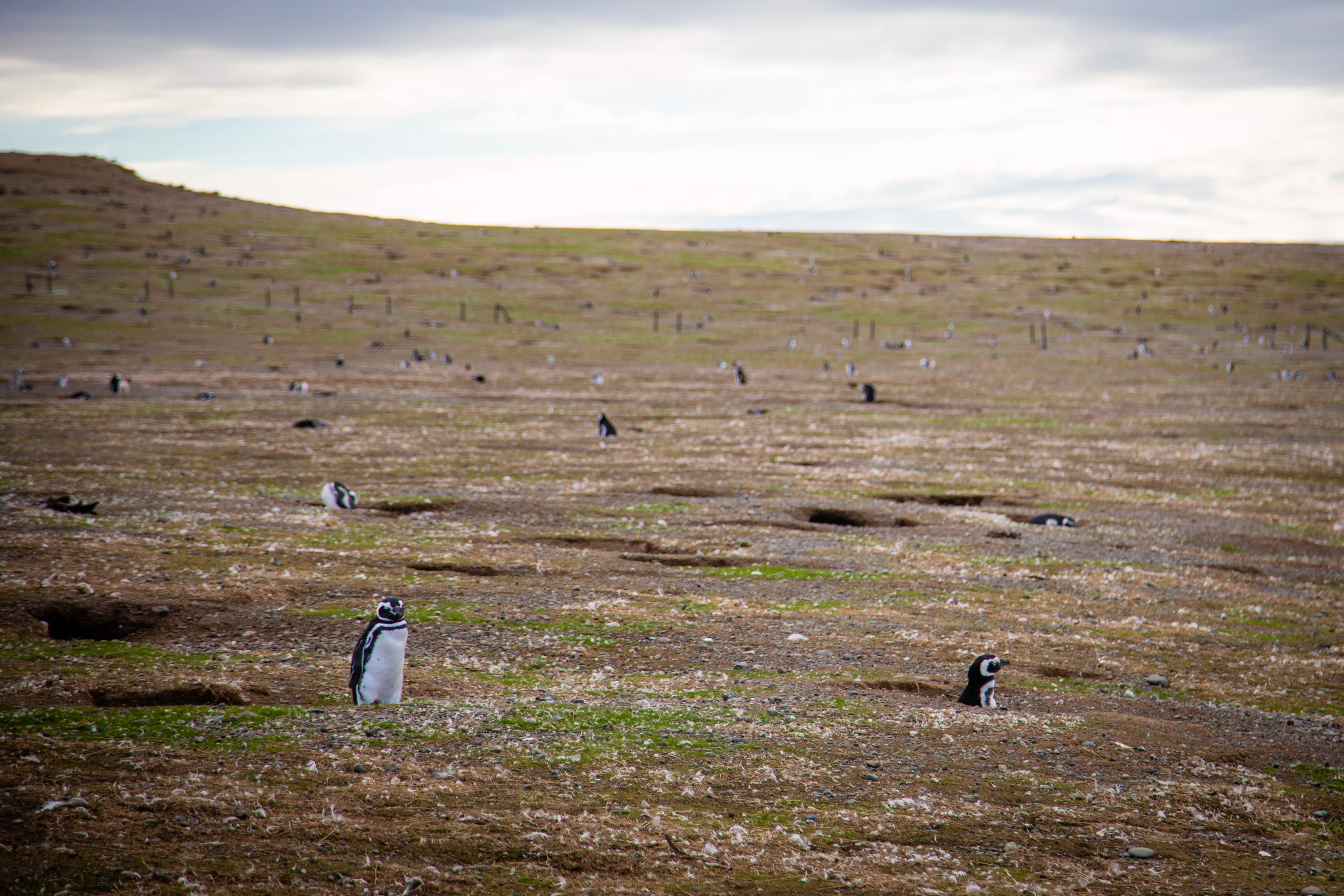 Penguins peeking out of their homes on the Island of Magdalena
