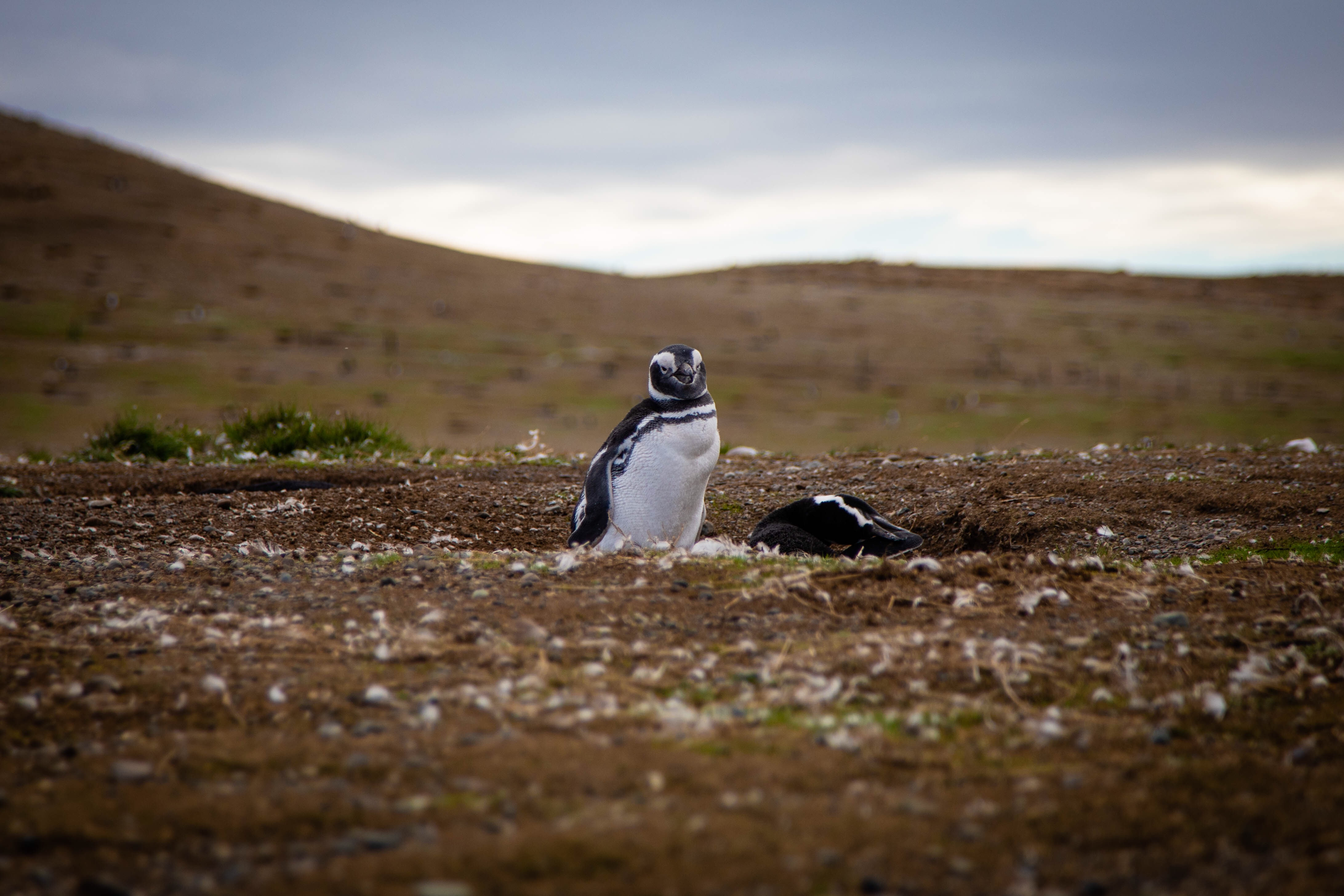 A penguin in its home near Punta Arenas