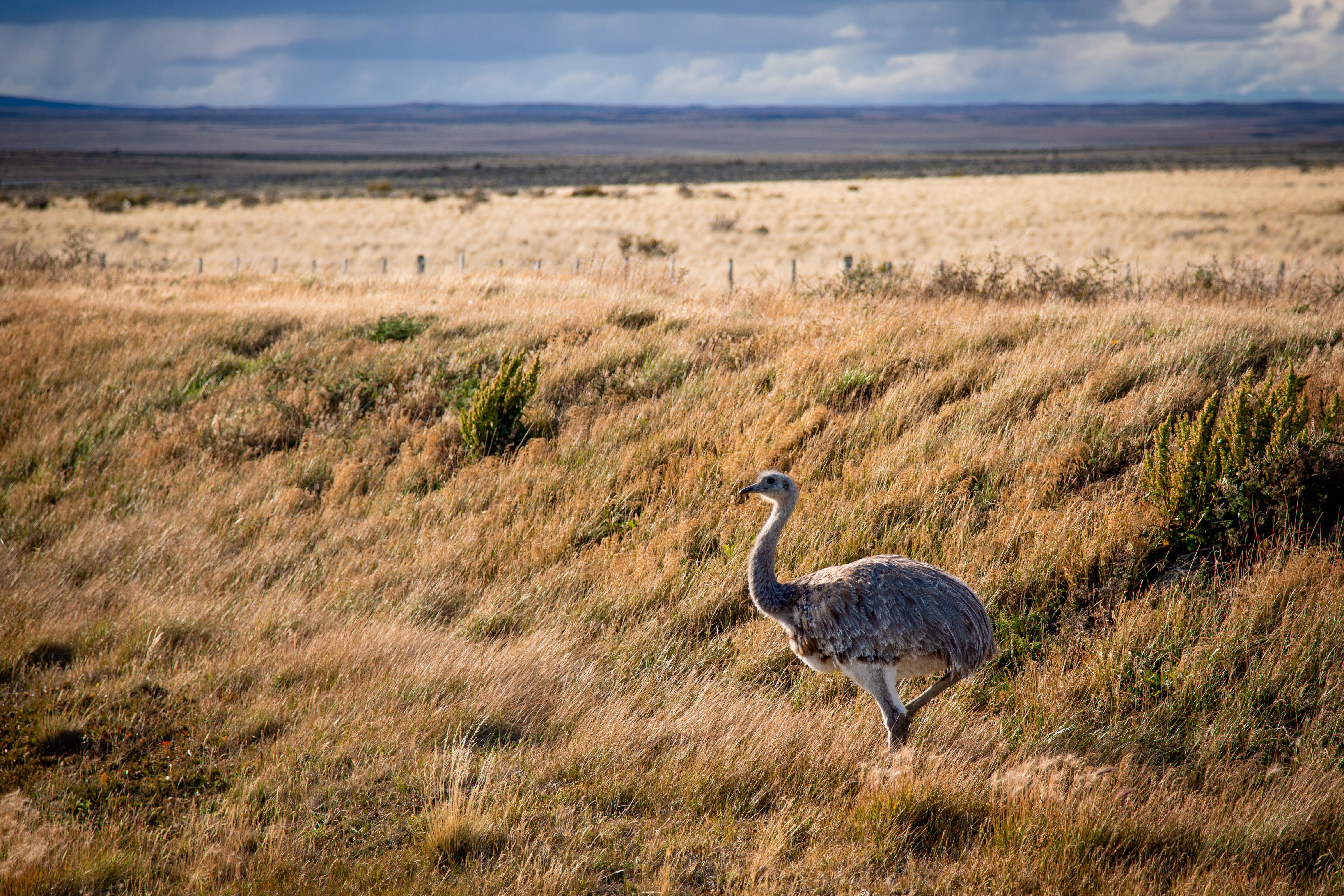 Rheas on the side of the road near Punta Arenas