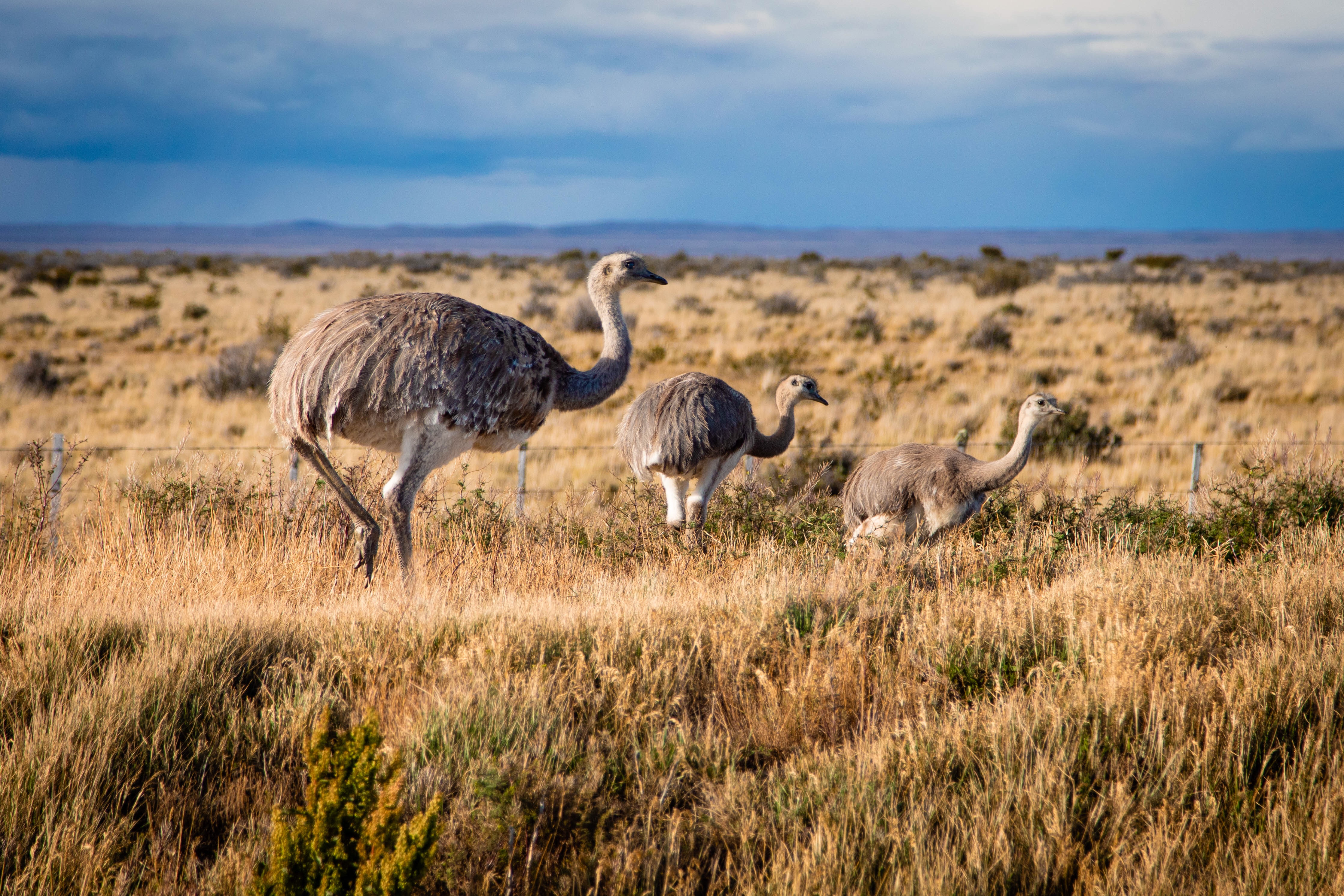 A mother Rhea and her babies on the side of the road in Punta Arenas