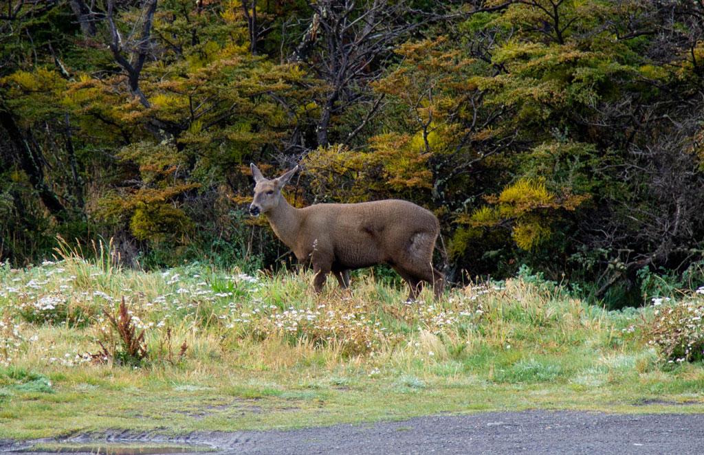 Andean Deer in Patagonia